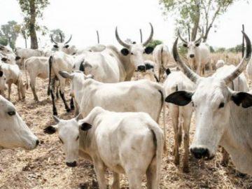 cattles-653x365.jpg