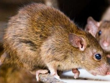 lassa-fever-rats-653x3656153086380781131220.jpg